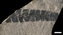 Studie av forntida växtfossiler ger kunskap om framtida effekter av global uppvärmning