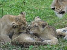 Asiatiska lejon födda på Parken Zoo Eskilstuna  – Premiärvisas 19 oktober för allmänheten, som får bestämma namn