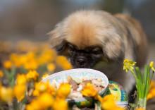 Påskens faror för husdjuren