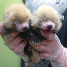 Dubbelt upp - två nyfödda pandaungar på Kolmården