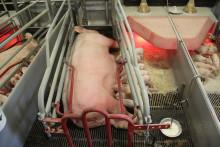 Stoppa fixeringen av grisar