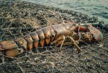 Amerikansk hummer förs inte upp på EU:s lista över främmande invasiva arter