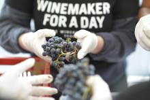 Dags för skörd på vingården i Solna – den 7 september kommer druvorna!
