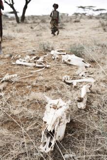 Svår torka i Afrika – akuta insatser krävs i Etiopien