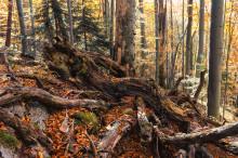 Mød et dødt træ, som bliver holdt i live af yngre træer
