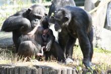 Schimpansungen Mona-Lisa 080613