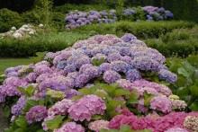 Gör rätt val när du väljer färg på höstens trädgårdshortensia – den byter färg tre gånger