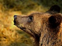 Björnjakten i Dalarna: överskjutna björnar påverkar inte tilldelningen i resten av länet