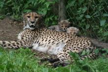 Äntligen kan gepardungarna visas för första gången!