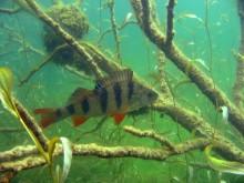 Inte bara abborre i Dalarnas fiskevatten