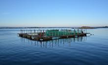 Stödutfodring av vildfångad torsk kan ge lönsammare kustnära yrkesfiske