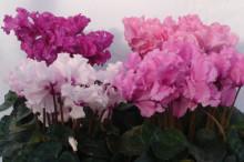Cyklamen med krusiga, busiga blommor