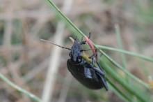 Gynna spindlar och jordlöpare i sädesfälten och minska skadorna från bladlöss