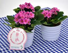 Dagens Rosa Produkt 19 oktober - en Saintpaulia från Mäster Grön