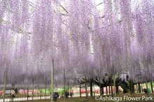 Cherry Blossoms, Wisteria, and Other Springtime Flower-Viewing Information  Around Tokyo: This Will Tempt Visitors to Snap Photos