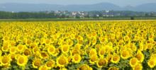 Solrostävlingen-eller historien om svensk familjepolitik