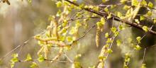 Pollensäsongen har startat i Västerbotten
