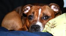 Så skyddar du hunden mot vildsvinsattack