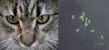Så tar sig kattparasiten till din hjärna