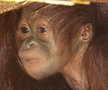 Orangutangfödsel