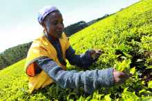 100 % av allt te i Liptons tepåsar nu Rainforest Alliance-certifierat