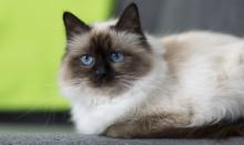 Vanliga frågor – kattuppfödare