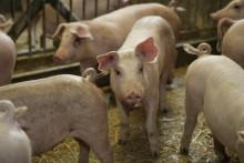Svenskt kött är schyst – konsumenten behöver få koll på hur antibiotika används