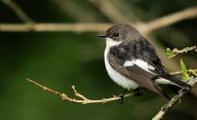 Flycatchers' genomes explain how one species became two