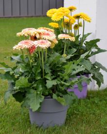 Storblommig Gerbera förskönar din sommarterass
