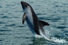 Bedrohter Vaquita (Schweinswal) bei Gefangennahme verstorben - Tierschützer fordern Stopp der Rettungsaktion
