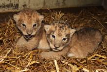 Nyfödda lejonungar i Borås Djurpark