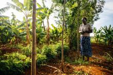 Ny rapport:  Minska klimatförändringen och hungern med träd - agroforestry är en viktig del i att nå globala målen