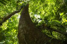 Uden skovene kan vi ikke opfylde klimaaftalen fra Paris