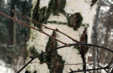 Trädknopparnas vintervila förklarad i detalj