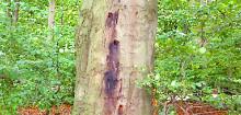 Phytophthora - ett snabbt växande hot mot svensk skog