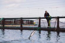 Gesund, schadstoffarm, zertifiziert – aktuelle Forschungsergebnisse bestätigen norwegische Lachszucht