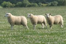 De irländska lammen blir allt mer populära på svenska påskbord