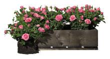 Rosens dag 2 juli: så sköter du dina rosor