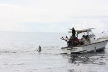 Blåfenade tonfisken återkom till svenska vatten under succéartade former