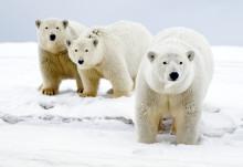 WWF ja Coca-Cola keräävät jälleen varoja jääkarhujen suojeluun