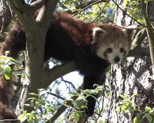 Röd kinesisk panda till Parken Zoo