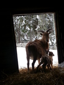 Fler djurfödslar i Furuvik