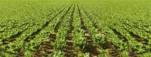 Ny möjlighet till gröna blad och höga skördar i sockerbetor