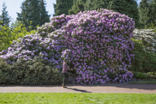 All rhododendrons lead to Scotland