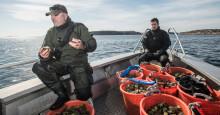 Handplockade ostron: Miljövänligt och ätes med gott samvete