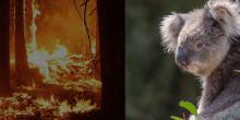 IVC Evidensia lähettää Australian maastopalojen pelastusoperaatioiden avuksi eläinlääkäreitä ja hoitajia