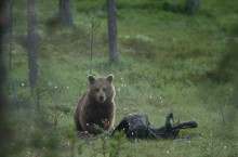 Nu har björnarna vaknat i Lofsdalen