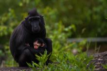 Nyfödd svart Sulawesimakak på Borås Djurpark