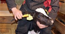 Genotyping av NRF-hundyr er nå mulig