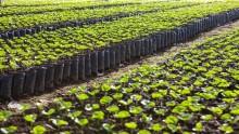 International kaffedag: Nye supertræer kan ændre de dystre kaffeprofetier